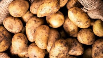 Zemědělci mají přebytek brambor a pořádají výprodej. Kde koupíte kilo za tři koruny?