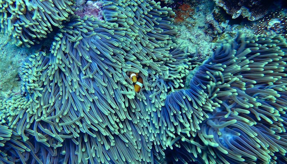 Pokles počtu žraloků dopadá i na korály. Kvůli nerovnováze v oceánu se rozpadá celý ekosystém.