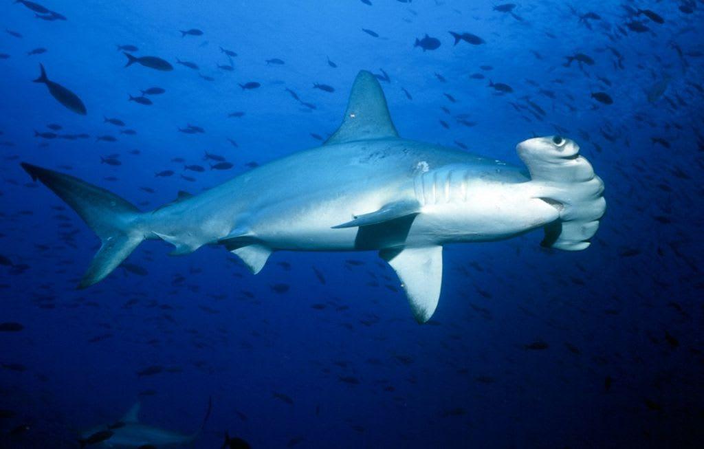 Mezi nejohroženější druhy žraloků patří kladivoun bronzový.