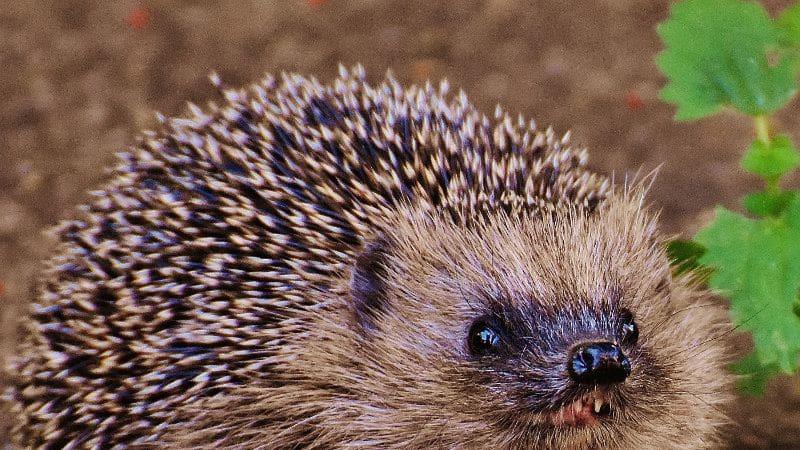 Obětí jedu na slimáky mohou být nejen ježci, ale i psi a kočky.