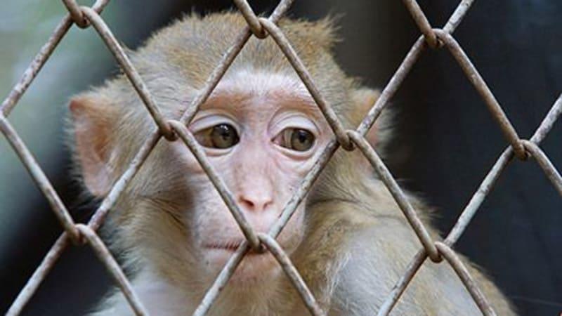 Aktivisté čtyři měsíce v utajení natáčeli provoz ve vivisekční laboratoři.