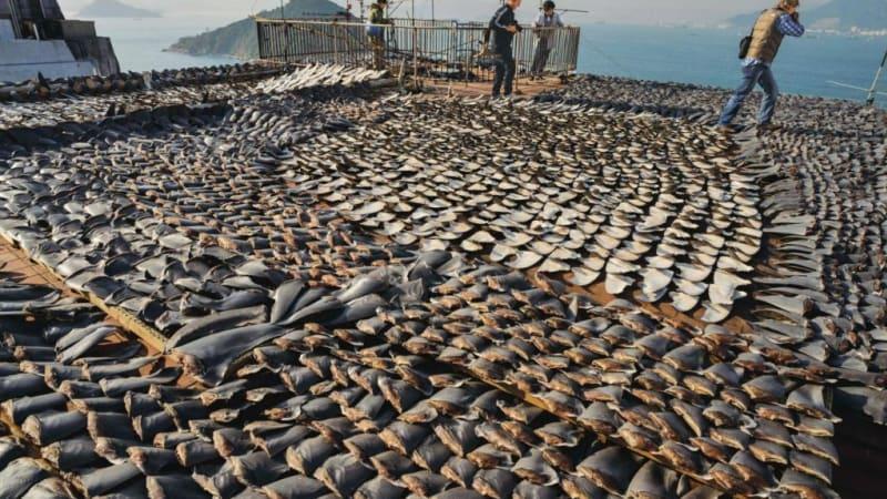 Jen do Kanady je každý rok dovezeno téměř 150 tisíc kilogramů žraločích ploutví. S tím je teď konec.