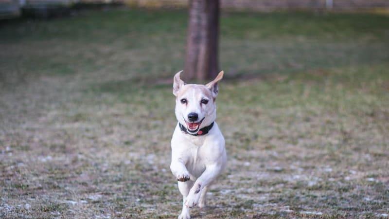 """Starší teriéří pán. Tvrdohlavý a """"svůj"""". Když se ale sžijete, je to veselý, hravý a poslušný pes!"""