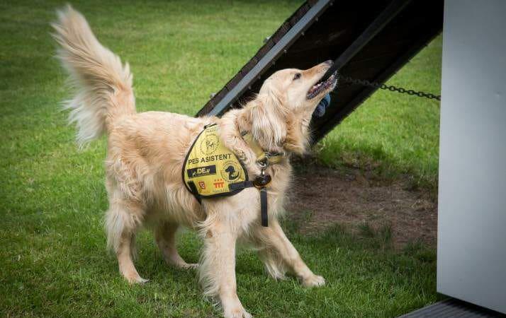 Asistenční a vodicí psi díky své nenahraditelnosti čerpají oproti běžným psům mnoho výhod