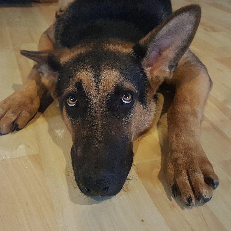 Psi slyší mnohem lépe než my, proto jim mohou zvuky doprovázející ohňostroje způsobovat i bolest.