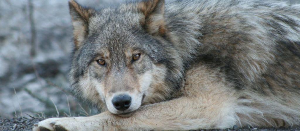 Díky nadaci a ochráncům zvířat vstávají vlci v Severní Americe znovu z popela.