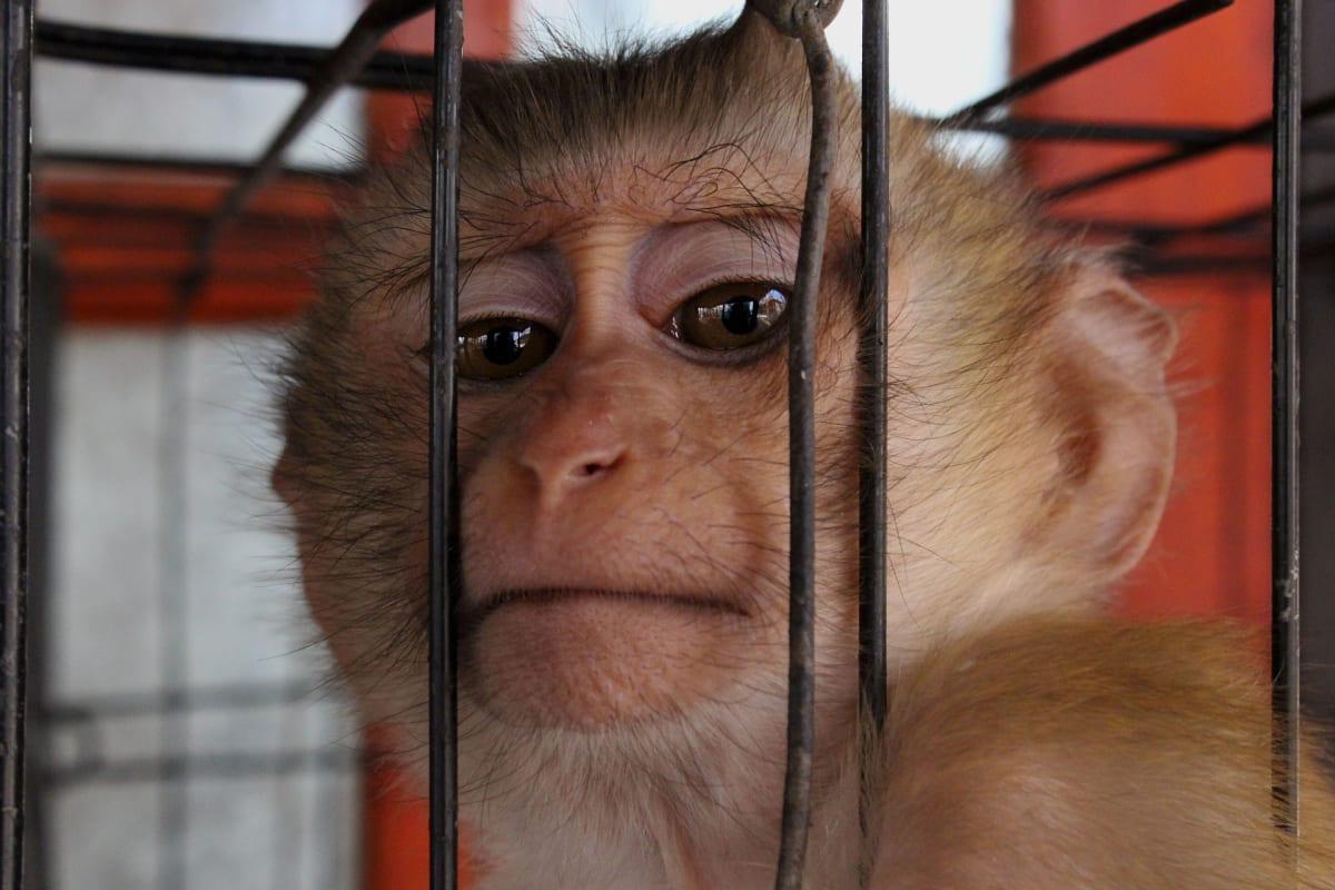K testování se často používají i opice