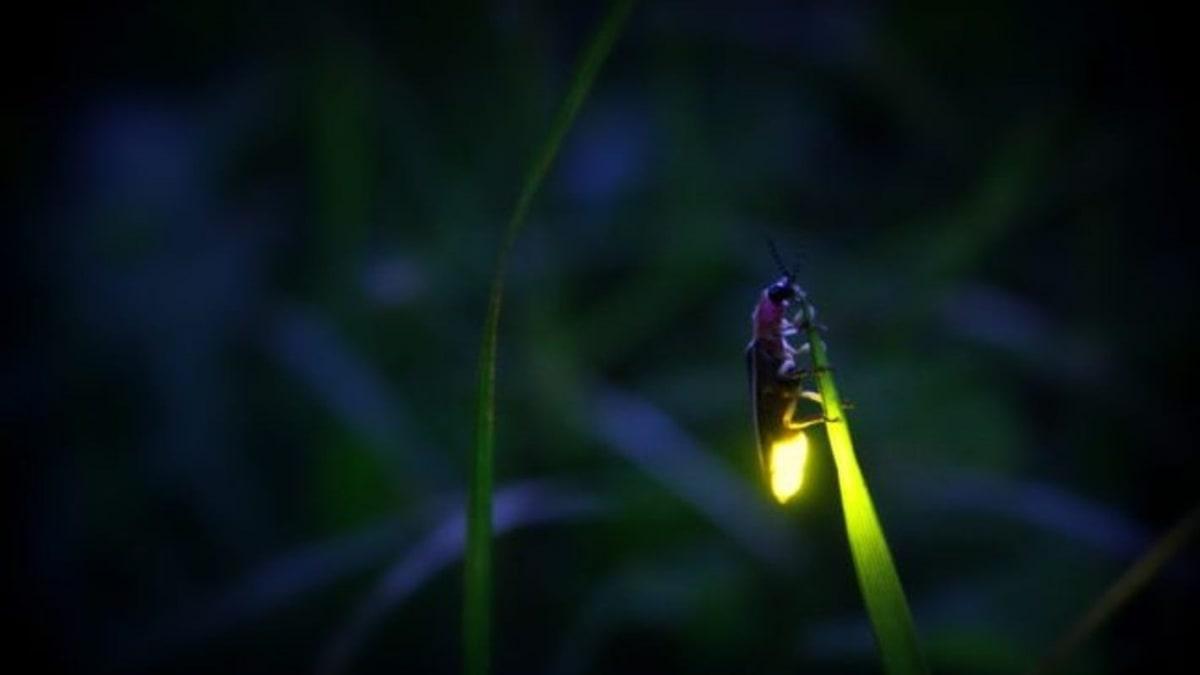 Světlušky jsou výrazně dimorfní. Létají jen samečci.