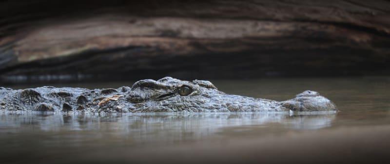 Krokodýl - nelítostný zabiják s něžnější stránkou.
