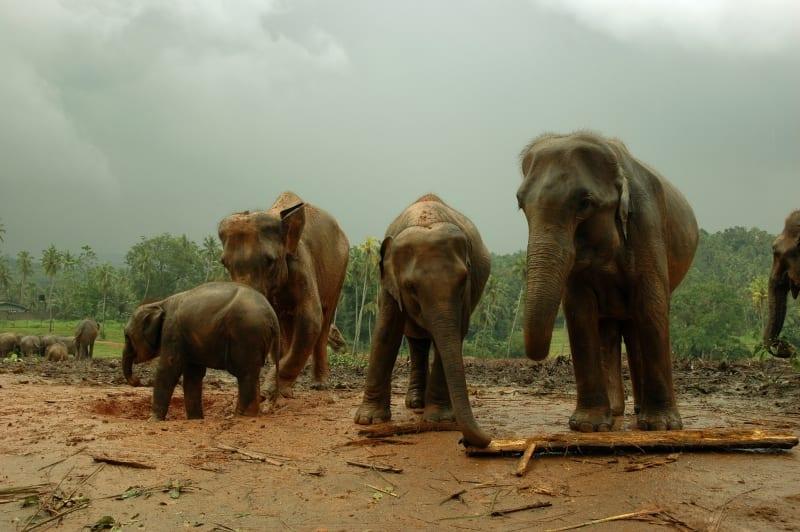 Kvůli roztahovačnosti lidí sloni přicházejí o své přirozené prostředí. Vede to ke konfliktům mezi nimi a lidmi.