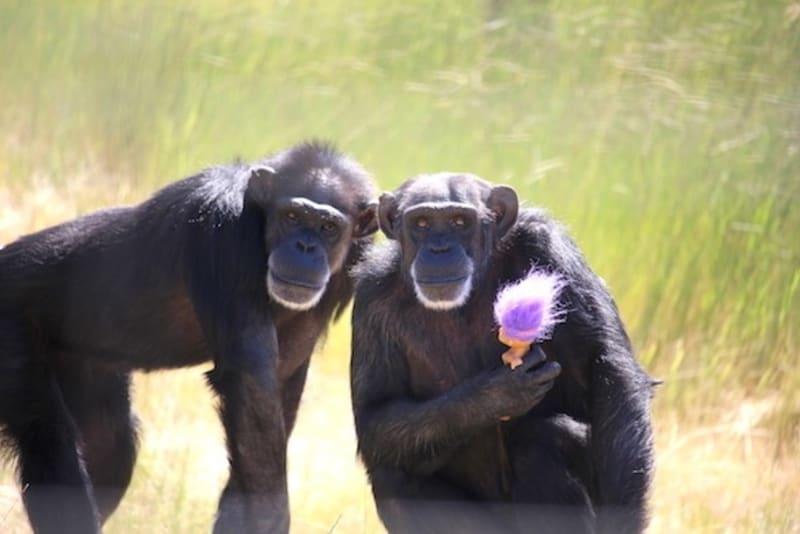 V azylu nacházejí bezpečný domov především šimpanzi zachránění z laboratoří.