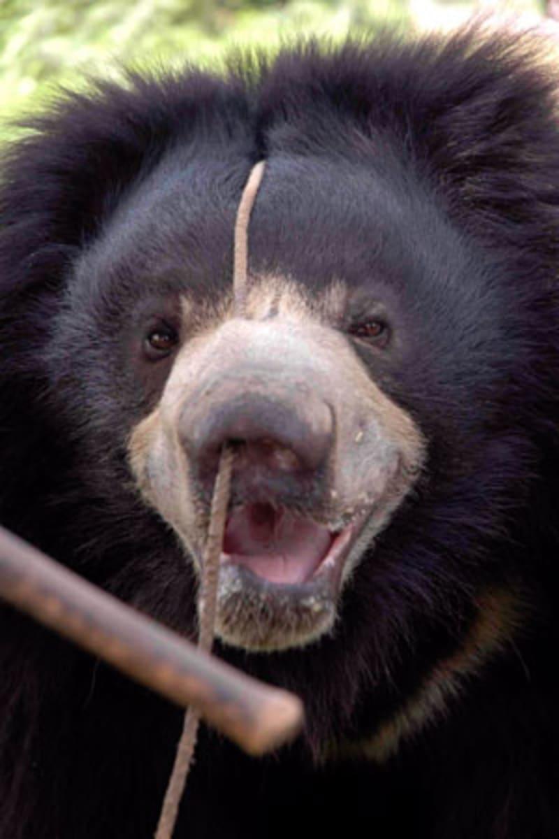 """""""Tančícící medvědi"""" zažívali velmi kruté praktiky"""