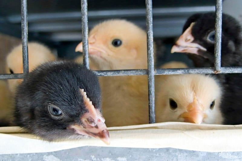Veterinární správa potvrdila další ohnisko ptačí chřipky. Credit: Pixabay