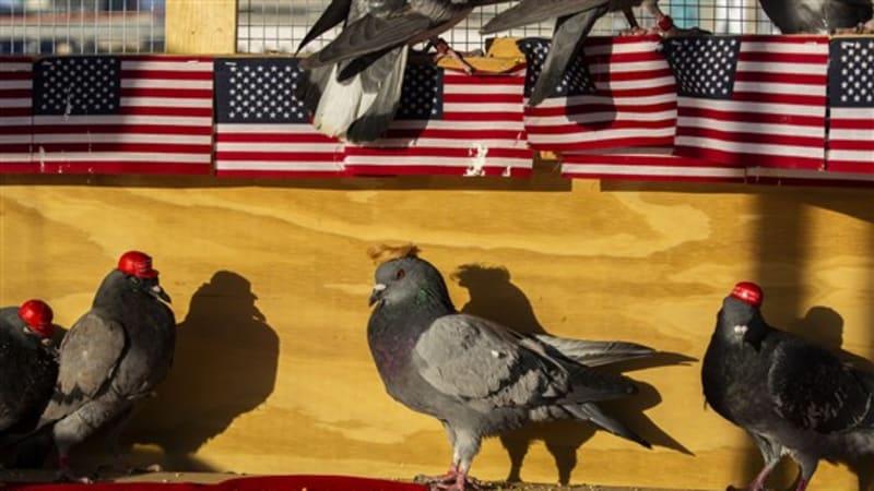 V Las Vegas se objevily další dvě desítky holubů s přilepenými klobouky. Credit: P.U.T.I.N.