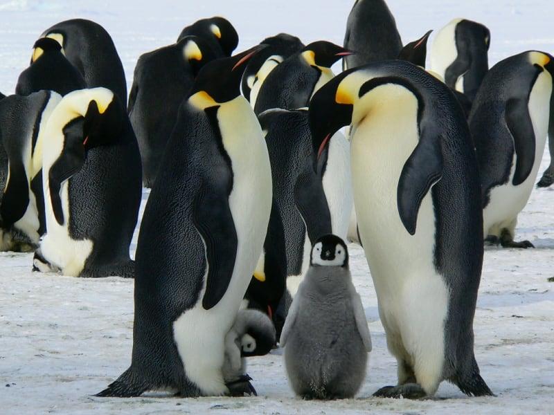 Tučňáci nejsou jen velcí parádníci. Mají i dost pod čepicí. Credit: Pixabay