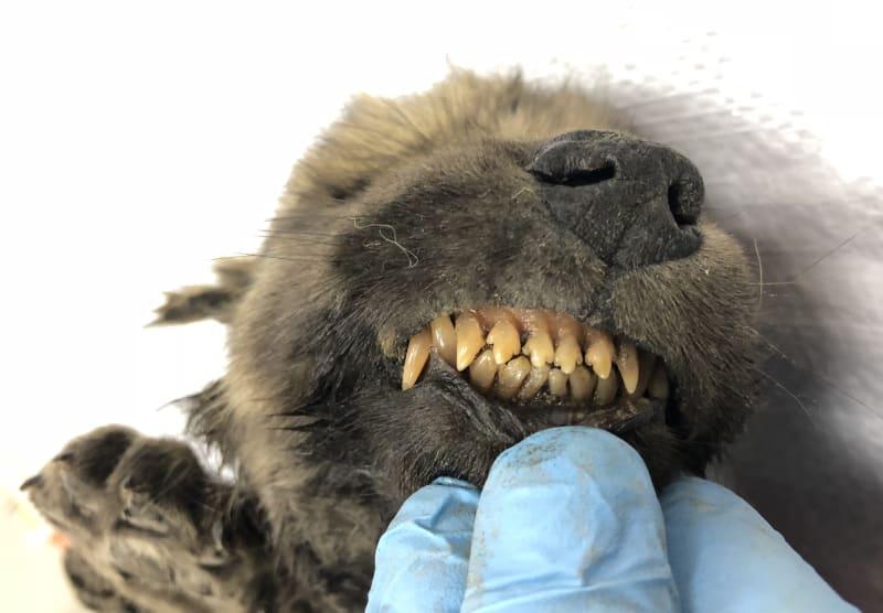 Ruští i švédští vědci si lámou hlavu, zda je toto stvoření vlk, nebo pes