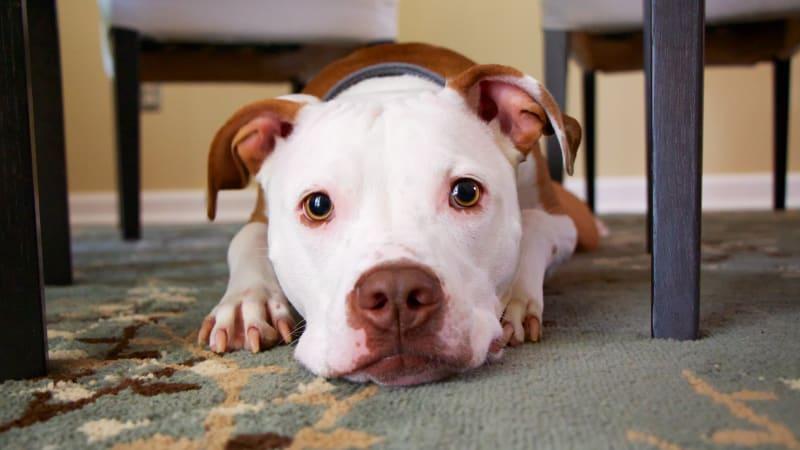 Separační úzkostí jako poruchou chování trpí nejvíce psů.