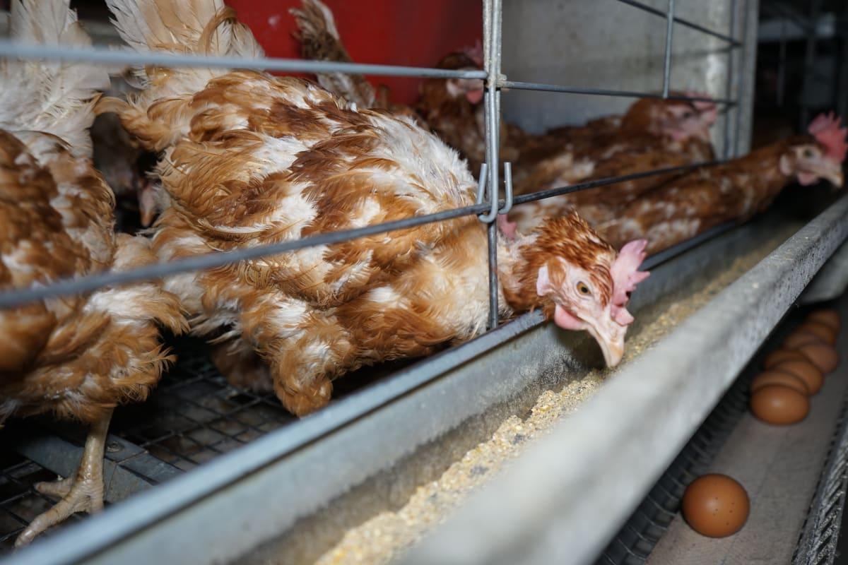 Věřím, že zpřísnění trestů za týrání zvířat ulehčí prosazení zákazu klecáků. Moc moc doufám.