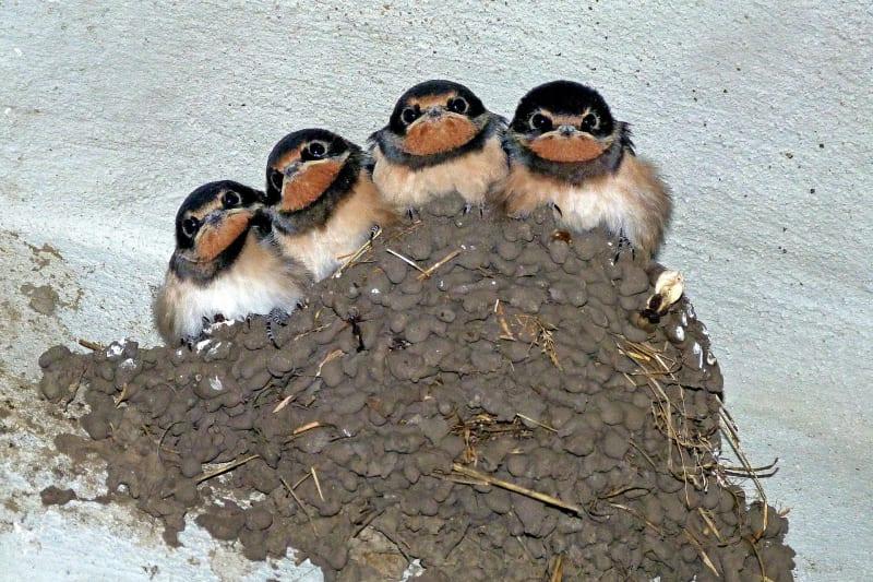 Víte, jak žijí vlaštovky?