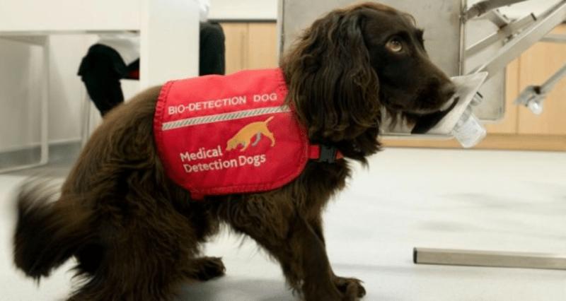 Pes cvičený k odhalení COVID-19/ Medical detection dogs