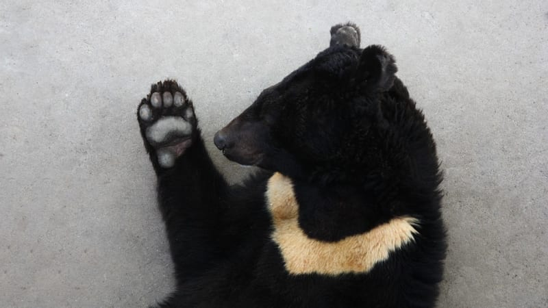 Jen v Číně je na žlučových farmách týráno více než dvanáct tisíc medvědů.