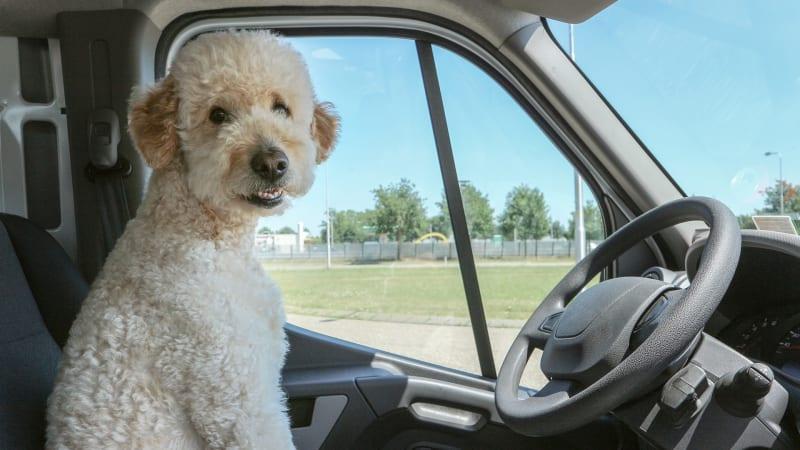 Pes za volantem může způsobit mnoho neplechy