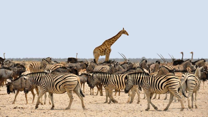 Žirafa má dnes kolem 5,5 metru. Nebylo tomu ale vždy