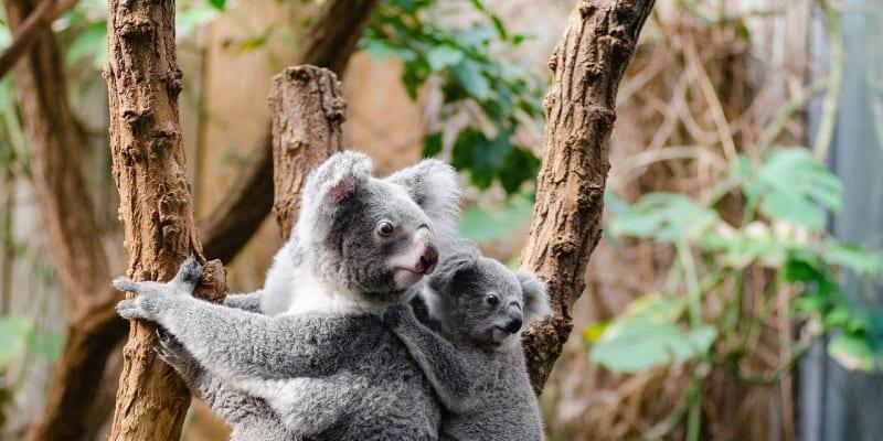 Koala a její mládě