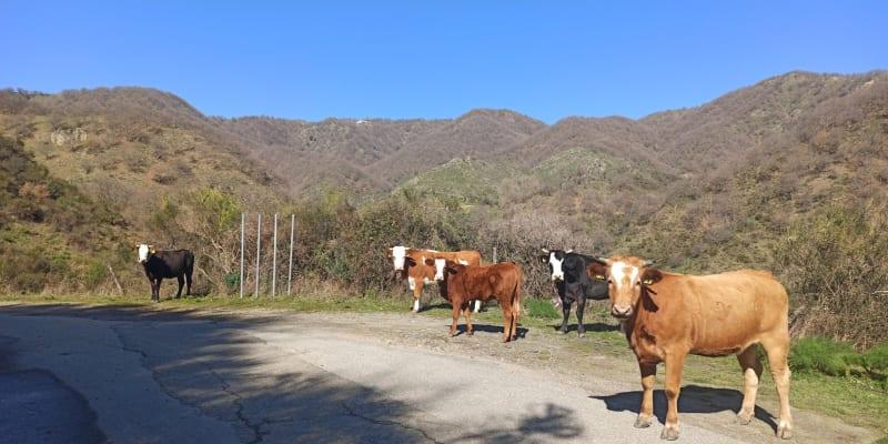 Občas mu při túře dělají společnost krávy.