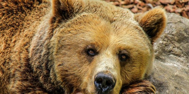 Medvěd ve výběhu pražské ZOO