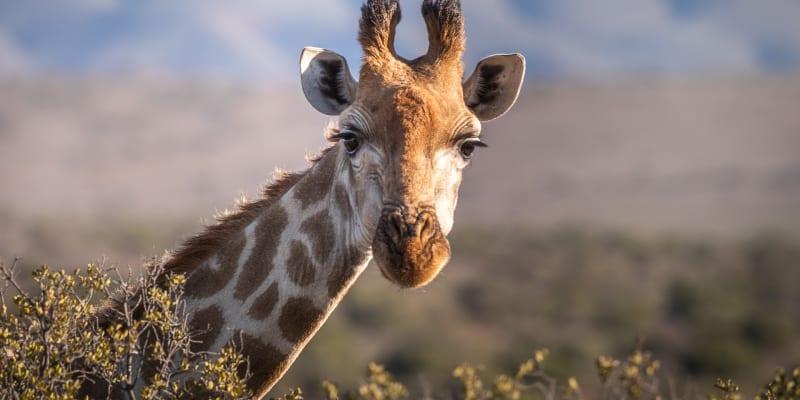 Žirafa ve volné přírodě