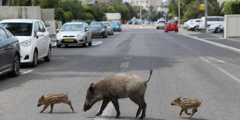 V izraelském městě Haifa se ulicemi prochází divoká prasata.