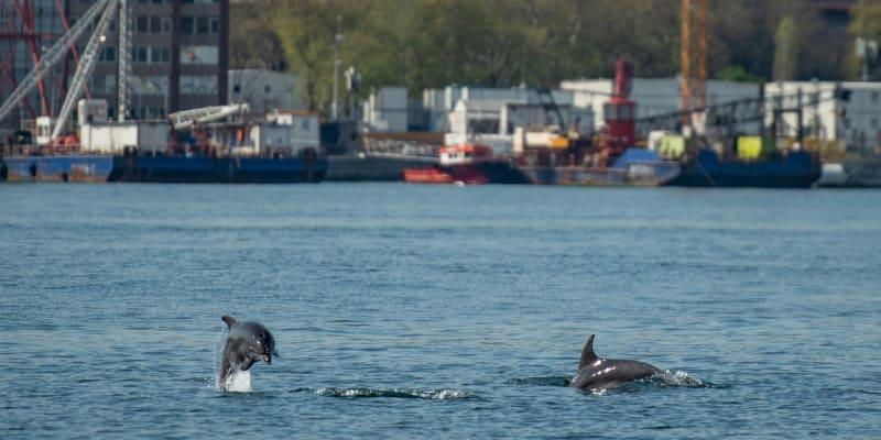 Snížený ruch v istanbulském průlivu Bospor přilákal delfíny.