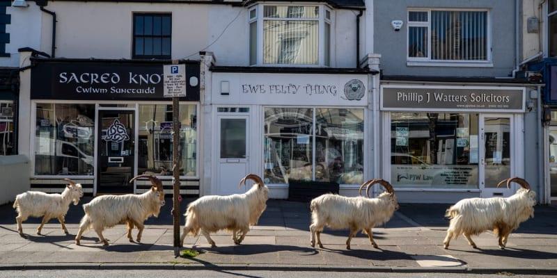 Divoké kozy kráčí prázdnými ulicemi waleského města Llandudno.