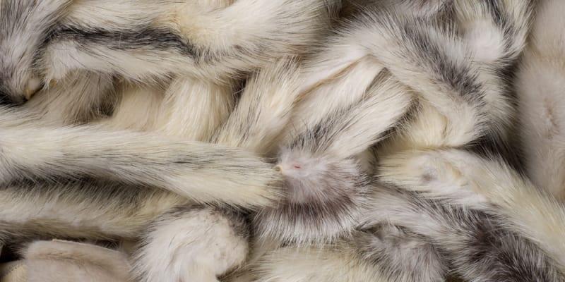 V Nizozemsku nařídili likvidaci norčích kožešinových farem z obav přenosu koronaviru SARS-CoV-2 z norků na člověka. Zdroj: Sciencemag