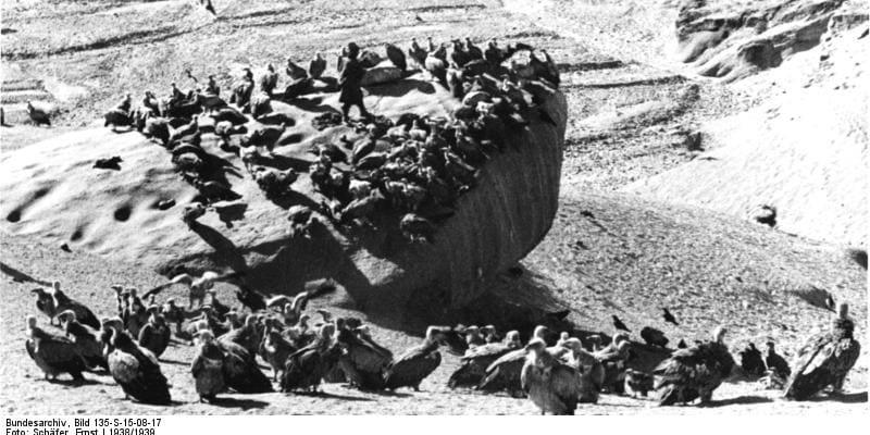 Snímky z Tibetské expedice Ernsta Schäfera – supi na místě smrti