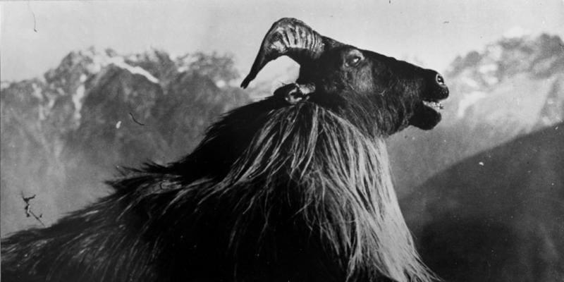 Snímky z Tibetské expedice Ernsta Schäfera – vycpanina uloveného zvířete