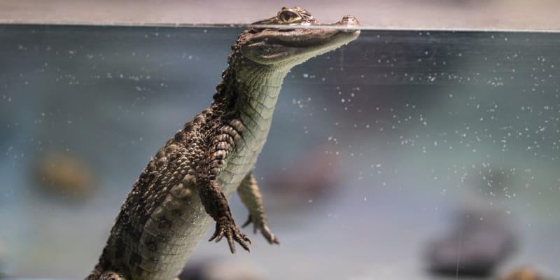 Měli tři metry, žili před 120 miliony let a chodili po dvou podobně jako Tyranosaurus rex. Takoví byli předci krokodýlů, jejichž stopy nedávno objevili paleozoologové v oblasti Jižní Koreje
