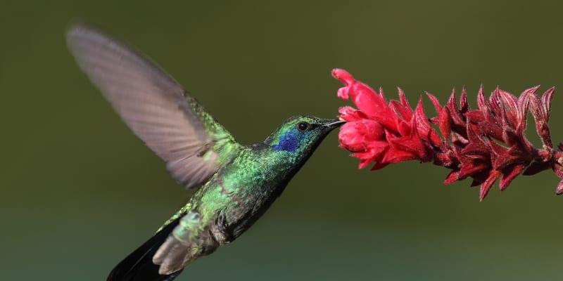 Lidé mají ve svých očích tři druhy buněk citlivých na barvu – vnímají červené, zelené a modré světlo. Pokus na kolibřících dokázal, že ptáci mají čtvrtý typ citlivý na ultrafialové světlo, což jim zásadně rozšiřuje barevné vidění