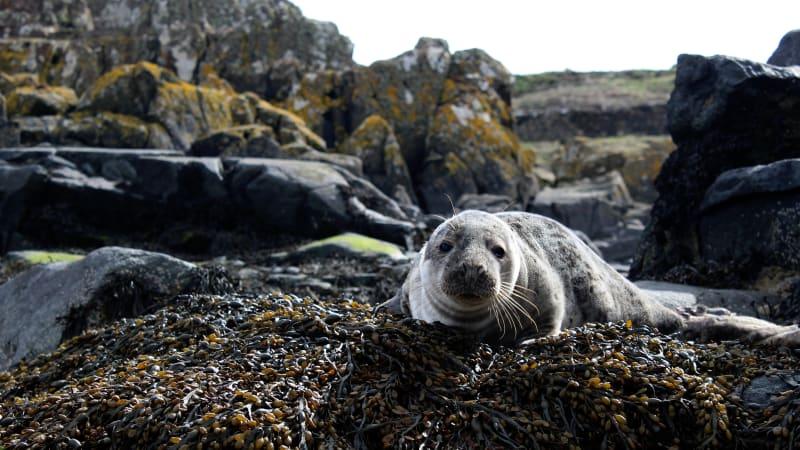 Skotsko zakázalo odstřel tuleňů a zpřísnilo tresty za týrání zvířat