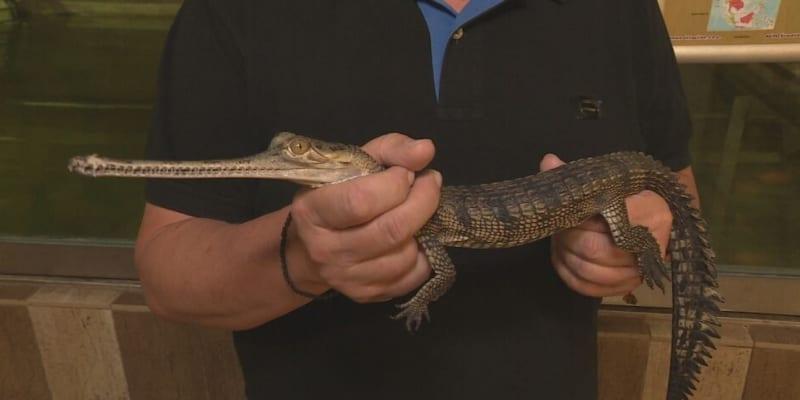 V Protivíně odchovávají nejvzácnější druhy krokodýlů jako je gaviál Indický.