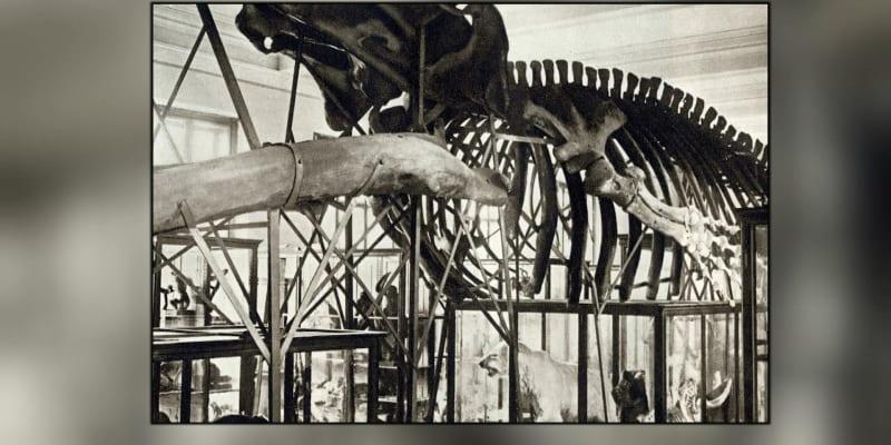 Archivní záběr do původní expozice, kde byla kostra umístěna.