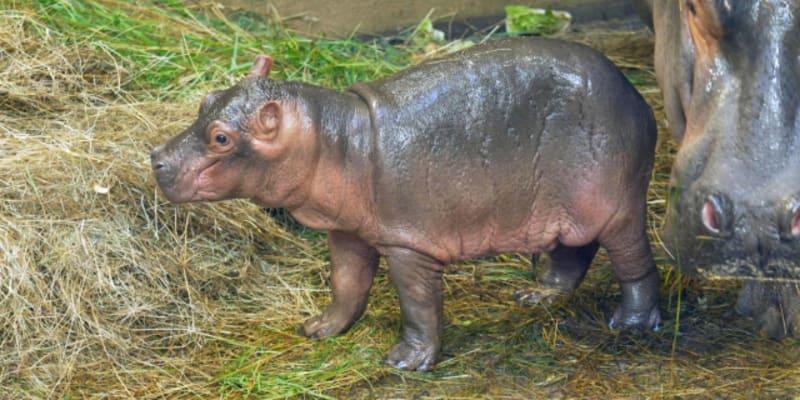 V ostravské zoo se narodilo mládě hrocha.
