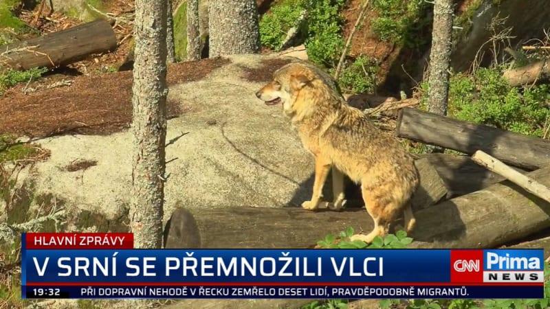 Na Šumavě se přemnožili vlci. Samci budou muset podstoupit kastraci