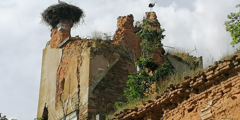 Wojnowice, čápi na ruinách kostela sv. Šimona a Judy Tadeáše, zničen byl při bojích v roce 1945.