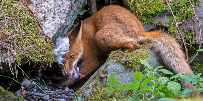 Liška dostala husu - vítězná fotografie Mladý fotograf divočiny roku 2020 (Zdroj: Natural History Museum)