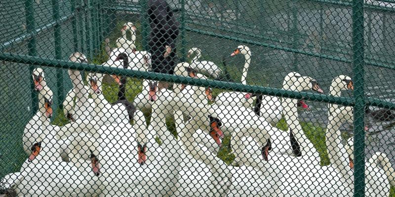 Labutě každoročně procházejí také sčítáním a prohlídkami.