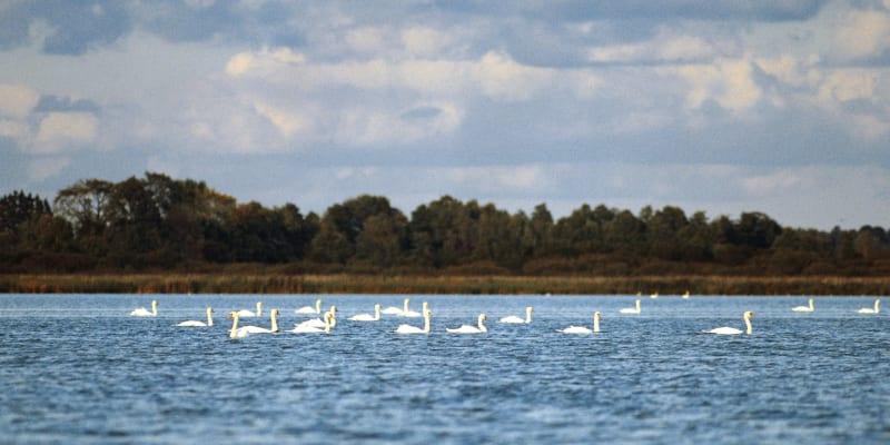 Na jezeře Morton začíná být labutím těsno.