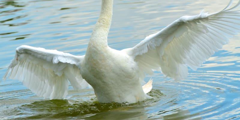 Labutě patří k městu Lakeland na Floridě téměř sto let.