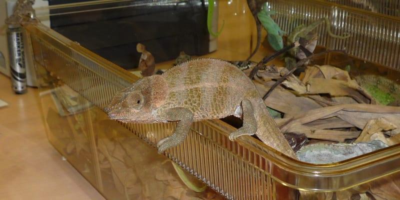Chameleoni v kufru. Foto: archiv ČIŽP